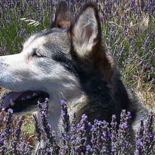 Castración laparoscópica en perras.