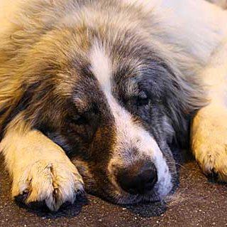 Osteosarcoma en perros, nuevo estudio en marcha.