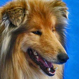 El perro promedio tiene una capacidad cognitiva similar a la de un niño de dos años y es capaz de identificar el significado de 165 palabras.