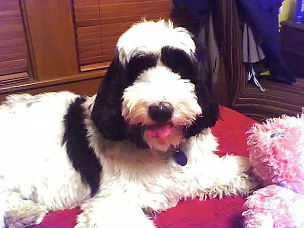 Los perros hipoalergénicos no parecen tener menos alérgenos que otros perros .
