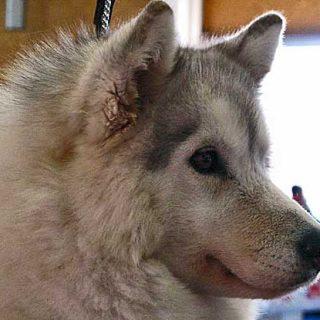 Actualmente en pleno estudio, los dos primeros perros que han sido tratados con la vacuna contra este cáncer oral canino no han desarrollado efectos secundarios.
