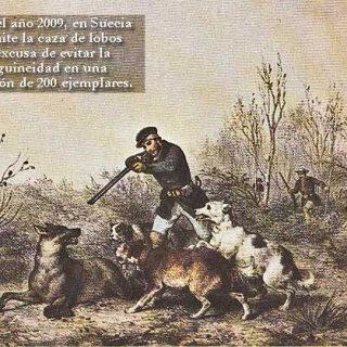 La mitad de la mortalidad de lobos salvajes en los países escandinavos, se debe a la caza furtiva.