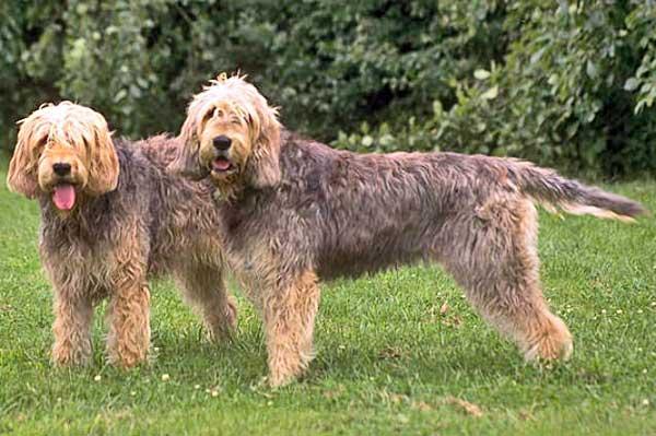 Otterhound, una de las 15 razas inglesas más escasas.