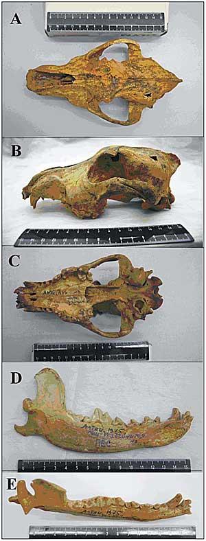 Descubierto el cráneo de un perro de 33.000 años de antigüedad, procedente de las montañas de Altai de Siberia: La evidencia de los primeros proto-perros dómesticos, domesticación que quedó interrumpida por la última glaciación.