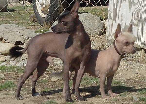 ¿Puede ser el chupacabras un Xoloitzcuintle, el perro mexicano sin pelo?
