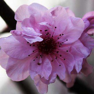 Flores de Bach y perros: Cherry Plum, para perros estresados, en situaciones de shock...