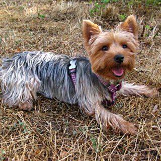 Siete regiones genéticas son responsables del 80 por ciento de los cambios morfológicos de las diferentes razas de perros.