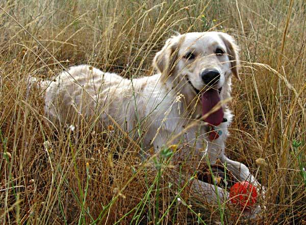 """Utilizar la nariz con la pelota es mucho más interesante para el perro que el simple y estresante """"lanzar-traer""""."""