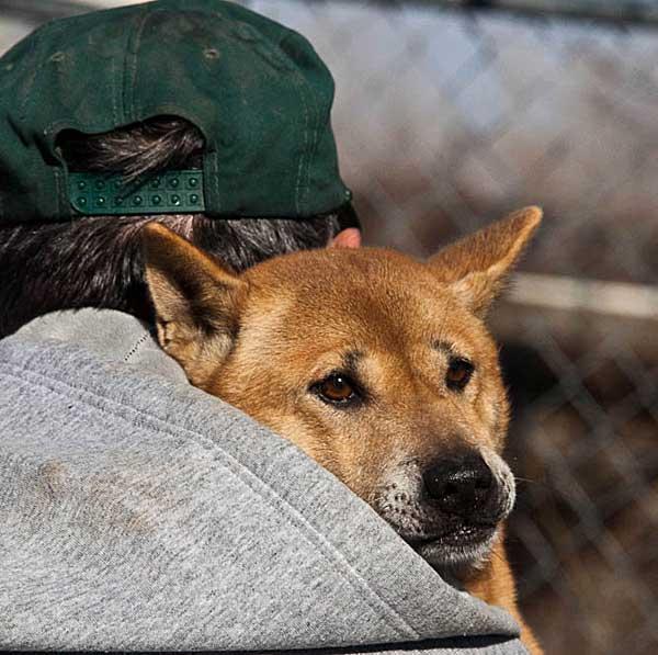 El perro cantor de Guinea y el dingo australiano comparten origen.