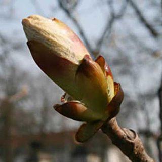 Chesnut Bud es una flor imprescindible en la educación canina, con esta esencia el animal aprende con mayor rapidez las pautas de conducta.