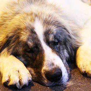 Primera vacuna veterinaria de su clase contra el cáncer que muestra un aumento en el tiempo de supervivencia en los perros con linfoma de Hodgkin.
