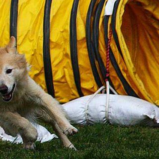 Pruebas de Agility con el Club de Agility Vallés Grup Caní, Club de Agility Canino Algecireño, Club de Agility L´Almozara y Club de Agility La Princesa.