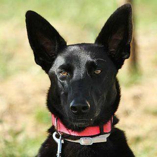 ¿Realmente puede influir cómo se maneje la correa, o el simple hecho de estar atado para cambiar el comportamiento de los perros? La respuesta es sí.