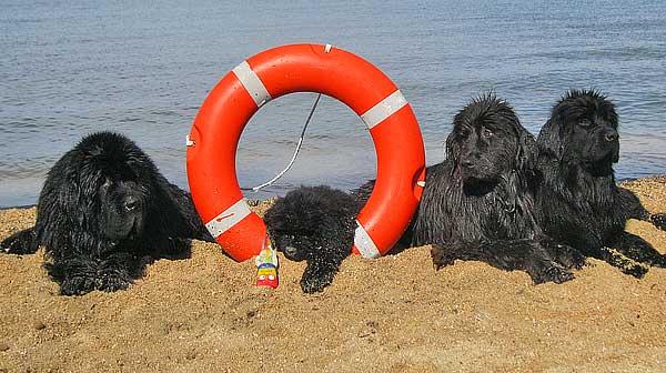 Próximo entrenamiento del Grupo de Rescate Mare Nostrum con la colaboración del Club Español del Terranova y el Club Cani La Cala, que tendrá lugar en l'Ametlla de Mar, los días 12 y 13 de noviembre de 2011.