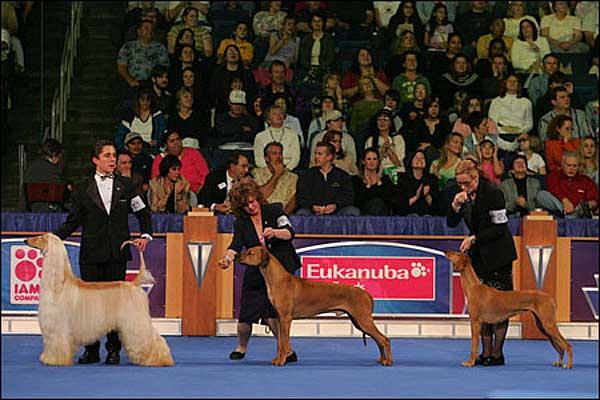 Campeonato AKC Eukanuba 2011, un show a la americana, con casi 5.000 perros inscritos.
