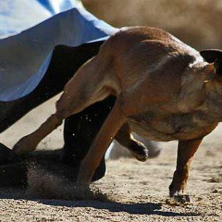 Esta esencia de roble ayuda al perro que llega a obsesionarse con el trabajo, con el servir, perros que no pueden parar, que necesitan trabajar constantemente.