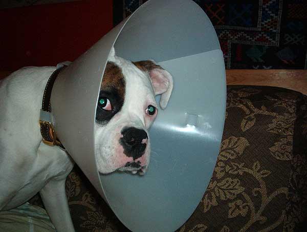 El Hospital Clínico Veterinario de la Universidad Complutense ha puesto en marcha una Unidad de Terapia Celular que ofrece, por primera vez en España, tratamientos de lesiones en perros aprovechando las células madre extraídas del propio paciente.