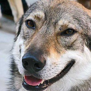 Un estudio del CSIC intenta esclarecer los mecanismos moleculares implicados en la domesticación del lobo y la aparición del perro.