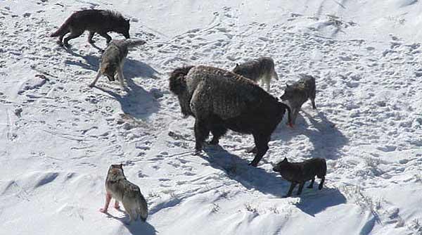 Vídeo del recibimiento de la una manada de lobos a la bióloga que estuvo trabajando con ellos.