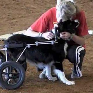 Vídeo de Zip, el border collie que hace agility ayudado de una silla de ruedas. Una lección de superación.