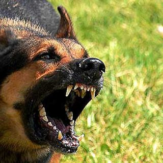 Tratamiento con flores de Bach en casos de agresividad canina redirigida.