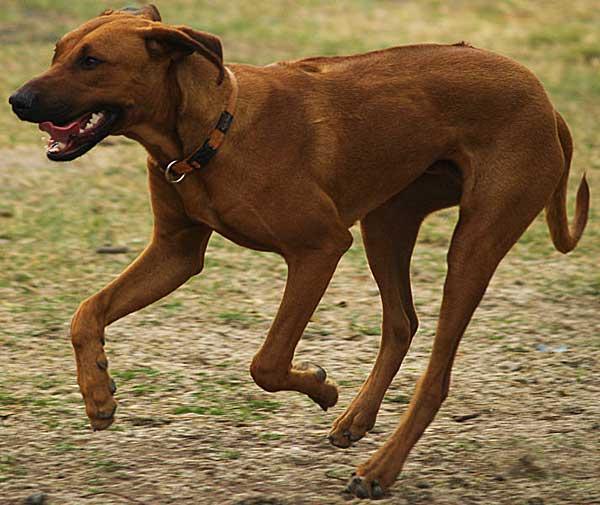 """Un nuevo tipo de legislación PPP se está experimentado en algunos países. Se catalogan las razas de perros como """"prohibidas"""", """"restringidas"""" o """"sin restricciones""""."""