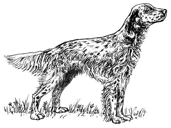"""El peligro de """"los perros de moda"""". El setter inglés... está en peligro de extinción. Parece increíble, pero es absolutamente cierto."""