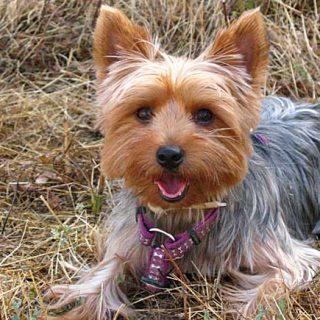 """¿Puede un Yorkshire """"aprender"""" como un border collie?. Estudio científico sobre aprendizaje en perros."""
