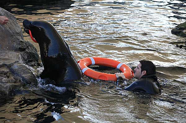 Adiestramiento de leones marinos para rescate acuático en el Oceanogràfic de la Ciudad de las Artes y las Ciencias.