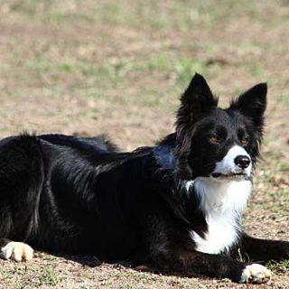 """Experimento que demuestra la capacidad de los perros para interpretar y comprender oraciones verbales """"objeto-acción""""."""