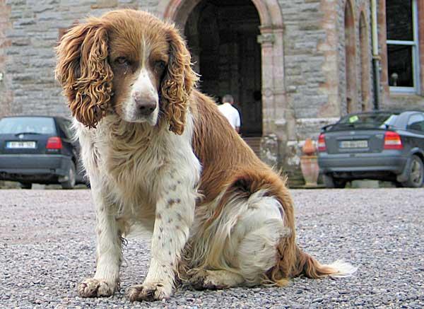 Tratamiento floral (flores de Bach) para la ansiedad por separación y para la tristeza en el perro.