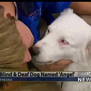 """""""Ángel"""" es un pastor australiano ciego y sordo de nacimiento que ha sido adiestrado mediante el tacto (vídeo)."""