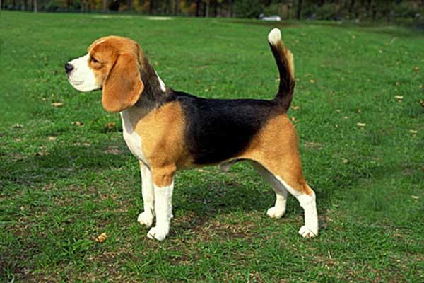 Ya se han publicado las estadísticas de inscripciones en el American Kennel Club, el labrador es el más popular, pero el beagle ya está tercero en popularidad.