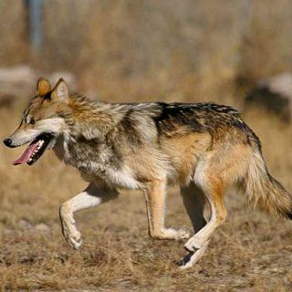 Actualmente, el lobo está protegido por la Directiva Hábitats europea, pero desde el ministerio de Agricultura, Alimentación y Medio Ambiente el pasado 8 de marzo se pidió formalmente a la Comisión Europea que se anulara la protección del lobo ibérico al sur del Duero. Brusela se ha negado.