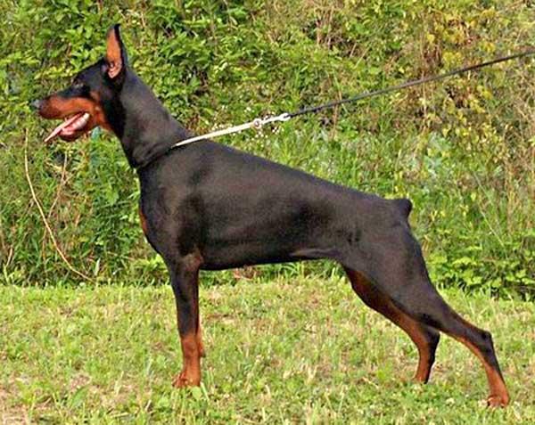 Nueve razas de perros son prohibidas específicamente por American Airlines, además de los braquicéfalos y sus cruces.