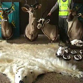 La Guardia Civil interviene en Barcelona una piel de oso polar disecado. Un grupo ecologista comunicó al SEPRONA la existencia de estas piezas expuestas en un restaurante.