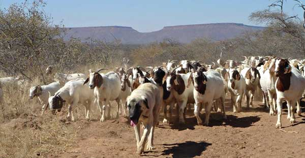 Pastor de Anatolia, kangal kurdo ayudan a salvar guepardos en Namibia, los mastines españoles cumplen la misma función con el lobo.