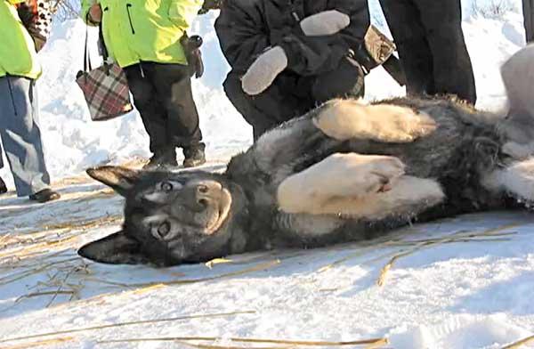 En la Iditarod 2012, un musher logró reanimar a su perro desde una parada cardiorespiratoria producida por un colapso, practicándole el boca a boca.