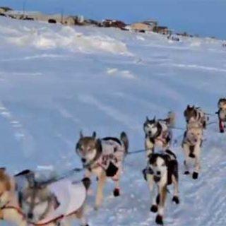 La Universidad de Fairbanks ha descubierto que los perros de trineo no tienen un metabolismo normal. Su capacidad para recuperarse después de un esfuerzo prolongado no es comparable a la de ningún otro perro conocido.