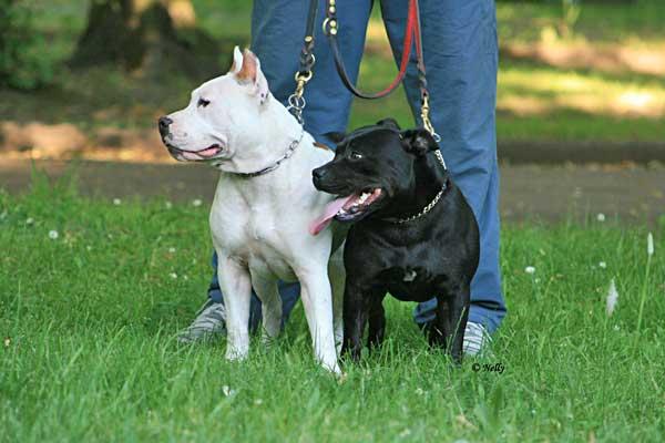 Staffordshire Bull Terrier, amstaff, pit bull...