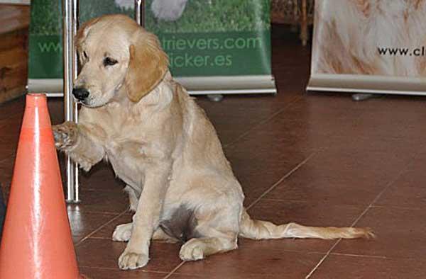 Primer curso de clicker CAP1 -organizado por el Club Español de Retrievers- que se celebra en Andalucía, se realizará los próximos 2, 3, 16 y 17 de junio de 2012 (dos fines de semana) en Sevilla.