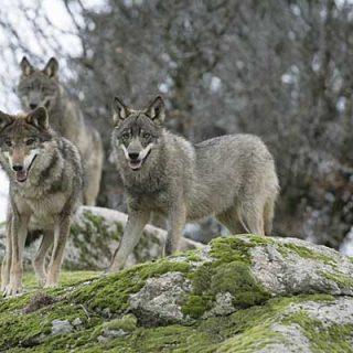 Un cuatro por ciento de los lobos estudiados son híbridos de lobo con perro.