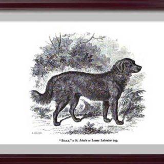 El perro de aguas de San Juan es una raza extinguidad... que bien podría ser el predecesor del golden retriever.