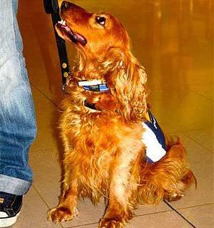 Curso intensivo de perros señal en Asturias. Todos los perros de Àskal son rescatados de refugios.