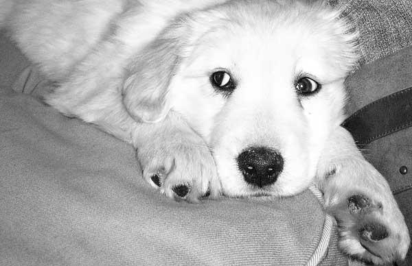 """La indefensión aprendida y los perros...Cuando el adiestramiento en positivo deja de ser """"positivo"""". (Vídeos)."""