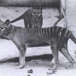 ¿Es el dingo responsable de la extinción del lobo marsupial?