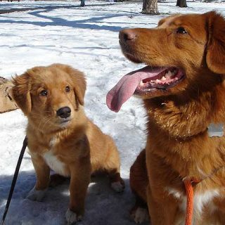 Salvando al Nova Scotia duck tolling retriever