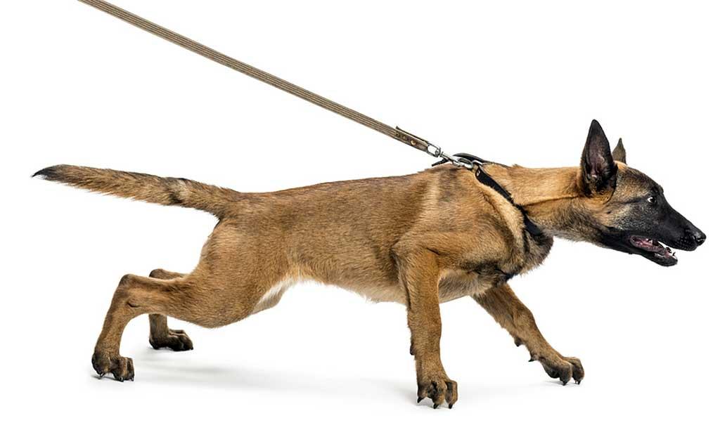 Perro-tira-correa