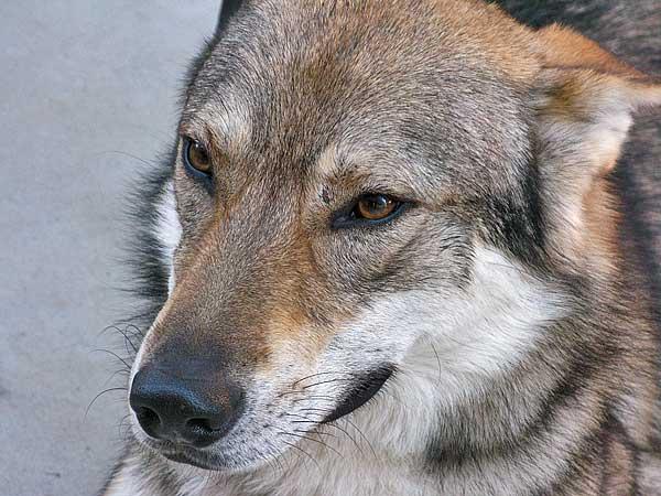 """Las llamadas """"razas primitivas"""" no son diferentes genéticamente al resto de perros. Los cruces de miles de años han diluido la huella genética, haciendo imposible su estudio."""