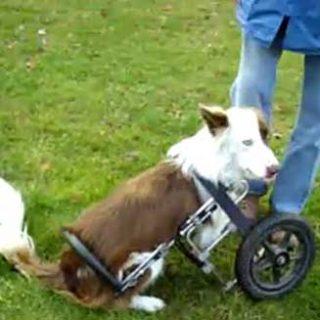 Roosevelt nació con una deformidad en las patas delanteras... sólo necesitaba una silla de ruedas para llevar una vida normal.